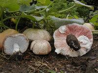 agaricus-subrufescens-agaricus-blazei-ji-song-rong-800px-36072.1428431502.200.200.jpg