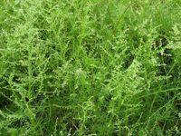 artemisia-capillaris-detail-83354.1428432050.200.200.jpg