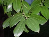 cinnamomzeylanicum-14174.1428432095.200.200.jpg