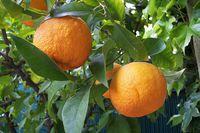 citrus-aurantium-81409.1428431532.200.200.jpg
