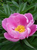 cudrania-lactiflora-chinese-peony-09644.1428431720.200.200.jpg
