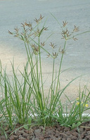 cyperus-rotundus-nut-grass-large-75657.1428431646.200.200.jpg