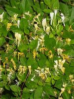 japanese-honeysuckle-flos-lonicera-japonica-53428.1428431696.200.200.jpg