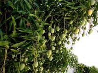 mangifera-indica-tropical-brazil-mango-34448.1428432532.200.200.jpg