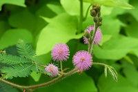 mimosa-pudica-han-xiu-cao-800px-08837.1428432128.200.200.jpg