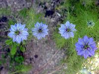 nigella-sativa-black-cumin-seed-002-31054.1428431547.200.200.jpg