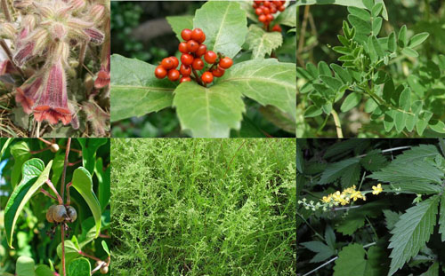 Blood Well Special Herbs