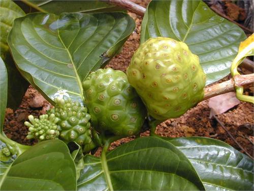 Morinda Noni Dietary Chinese Herb
