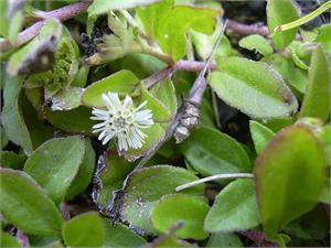 Eclipta Herb