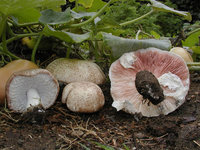 agaricus-subrufescens-agaricus-blazei-ji-song-rong-800px-36072.1428431502.200.200.jpg