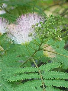 albizia-julibrissin-persian-silk-tree-bark-extract-480px-65755.1428432157.300.300.jpg