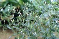 andrographis-paniculata-detail-002-43932.1428431517.200.200.jpg