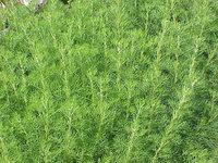 artemisia-annua-qing-hao-wormwood-640px-06288.1428432173.200.200.jpg