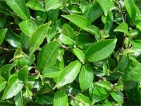 camellia-sinensis-green-tea-64935.1428431683.200.200.jpg