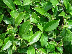 camellia-sinensis-green-tea-64935.1428431683.300.300.jpg