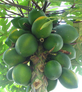 carica-papaya-fan-mu-gua-635px-05736.1428431553.300.300.jpg
