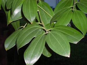 cinnamomzeylanicum-14174.1428432095.300.300.jpg