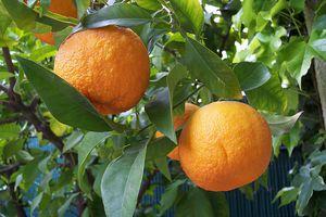 citrus-aurantium-81409.1428431532.300.300.jpg