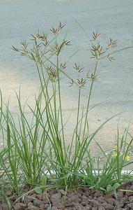 cyperus-rotundus-nut-grass-large-75657.1428431646.300.300.jpg
