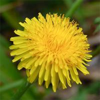 dandelion-flower-04882.1428431752.200.200.jpg