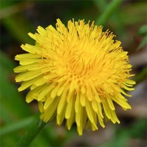 dandelion-flower-04882.1428431752.300.300.jpg