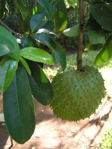 graviola-soursop-annona-muricata-cherimoya-guanabana-soursop-sour-sop-custard-apple-brazilian-paw-paw-800px-59092.1428431679.300.300.jpg