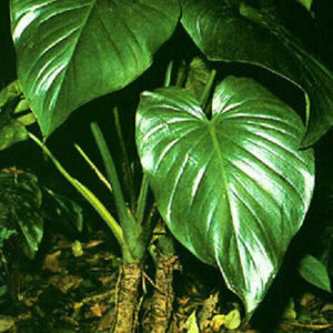 homalomena-occula-qian-nian-jian-400px-90141.1428432119.300.300.jpg