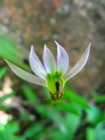 lobelia-chinensis-002-67363.1428431691.200.200.jpg