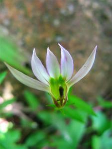 lobelia-chinensis-002-67363.1428431691.300.300.jpg