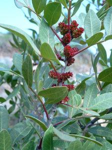mastic-tree-boswellia-carterii-ru-xiang-frankincense-800px-69080.1428432125.300.300.jpg