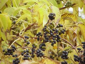 phellodendro-chinense-phellodendro-amurense-chinese-cork-tree-62757.1428432147.300.300.jpg