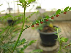 phyllanthus-urinaria-photoraffi-kojian-wikimedia-79308.1428431724.300.300.jpg