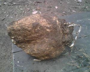poria-cocos-fu-ling-06518.1428431729.300.300.jpg