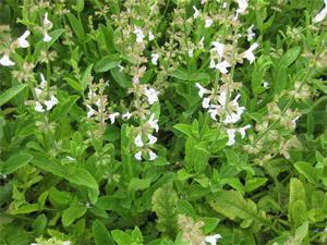 salviamiltiorrhizaredsagechinesesage-77691.1428431740.300.300.jpg