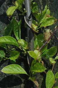 schisandra-chinensis-schizandra-schisandra-fruit-wu-wei-zi-500px-65100.1428431748.300.300.jpg