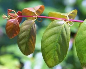 uncaria-rhynchophylla-ramulus-uncariae-hook-extract-gou-teng-448px-65204.1428432150.300.300.jpg